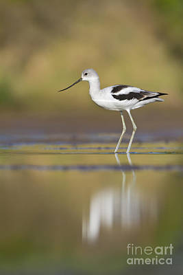 Poster featuring the photograph Morning Avocet by Bryan Keil