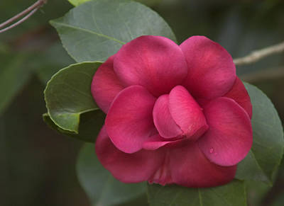 Morning Camellia Poster by Penny Lisowski