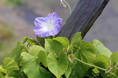 Morning Glory (ipomoea Sp.) In Flower Poster by Michael Szoenyi