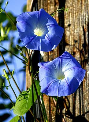 Morning Glory Pair Poster