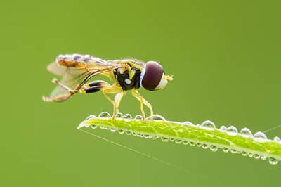 Morning Hoverfly Poster by Mircea Costina Photography