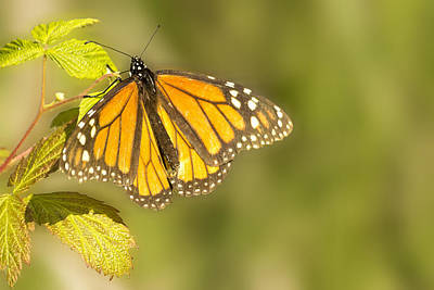 Morning Monarch Glow Poster by Bill Tiepelman