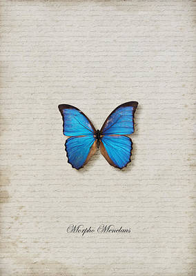 Morpho Menelaus Butterfly Poster by Lee Craggs