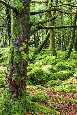 Moss Covered Trees In Killarney Poster