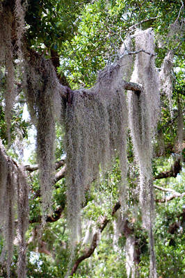 Moss Draped Tree Branch Poster