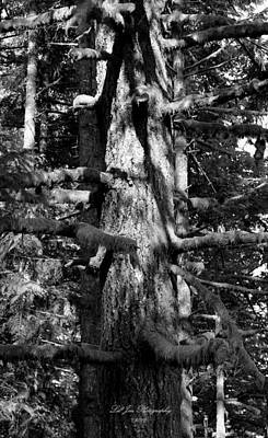 Moss On The Evergreens II In Black And White Poster by Jeanette C Landstrom