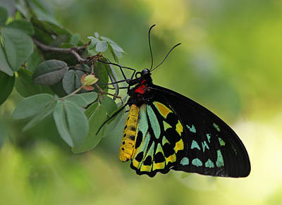 Most Beautiful Butterfly World Poster