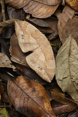 Moth Camouflaged Against Leaf Litter Poster