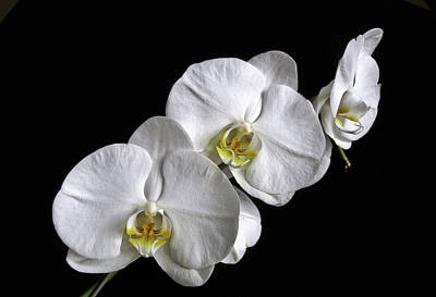 Moth Orchid Trio Poster by Ron White