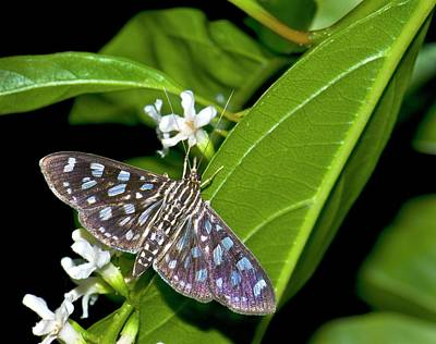 Moth (pygospila Tyres) Poster by K Jayaram