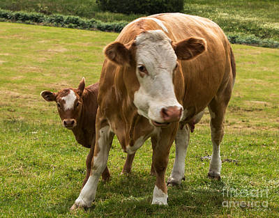 Mother And Baby Cow Poster by Iris Richardson