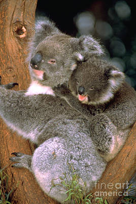 Mother And Baby Koala Poster by Mark Newman