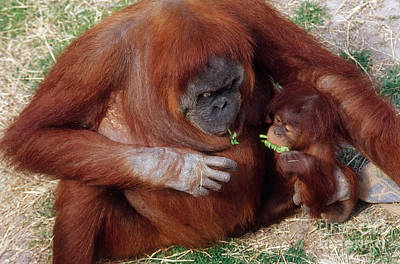 Mother And Baby Orangutans Nibbling Poster