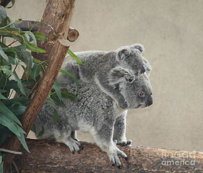 Poster featuring the photograph Mother And Child Koalas by John Telfer