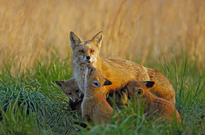 Mother Fox And Kits Poster