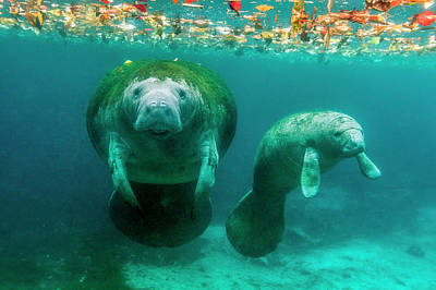 Mother Manatee With Her Calf In Crystal Poster