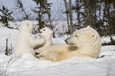Mother Polar Bear Watches Her Cubs Play Poster