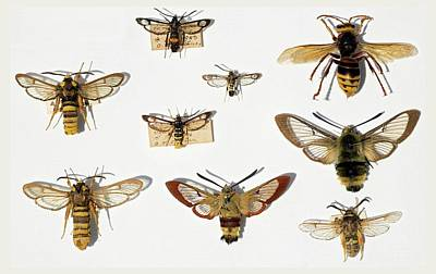 Moths And Batesian Mimicry Poster by Paul D Stewart