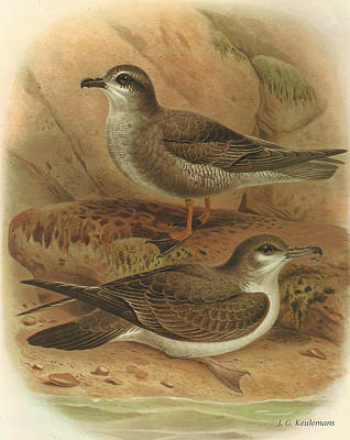 Mottled Petrel And Buller's Shearwater Poster by Dreyer Wildlife Print Collections