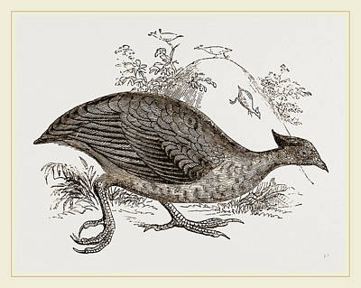 Mound Making Megapode Poster by Litz Collection