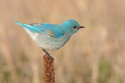 Mountain Bluebird Poster