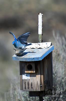 Mountain Bluebirds Mating Poster