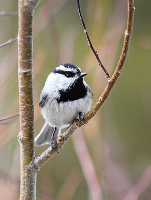 Mountain Chickadee Poster
