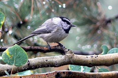 Mountain Chickadee On A Rainy Day Poster by Marilyn Burton