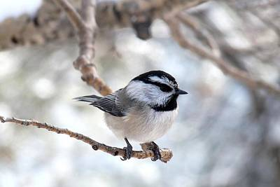 Mountain Chickadee On Branch Poster by Marilyn Burton