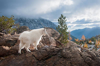 Mountain Goat Poster by Brian Bonham