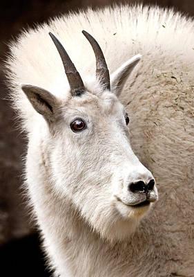 Mountain Goat Poster