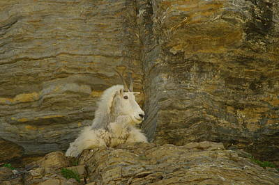 Mountain Goat Poster by Jeff Swan