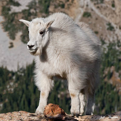 Mountain Goat Kid Standing On A Boulder Poster
