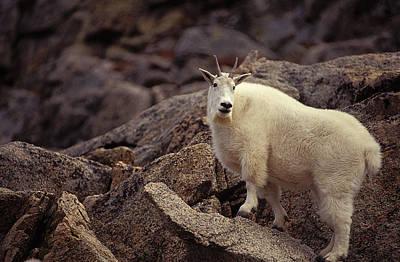 Mountain Goat Nanny Poster
