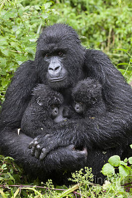 Mountain Gorilla Mother And Twins Poster