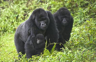 Mountain Gorillas Gorilla Beringei Poster by Panoramic Images
