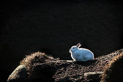 Mountain Hare Poster by Alex Hyde