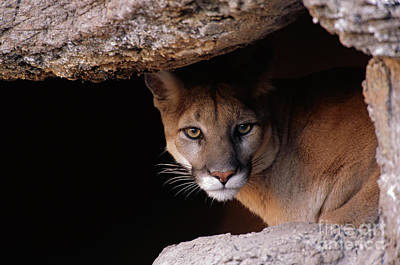 Mountain Lion Peering From Cave Poster