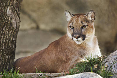 Poster featuring the photograph Mountain Lion  by Brian Cross