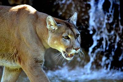 Mountain Lion Poster by Deena Stoddard