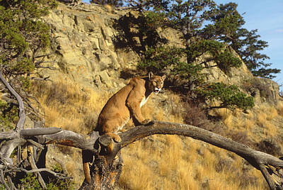 Mountain Lion In Tree Montana Poster by Tom Vezo