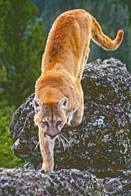 Mountain Lion Poster by Judi Baker