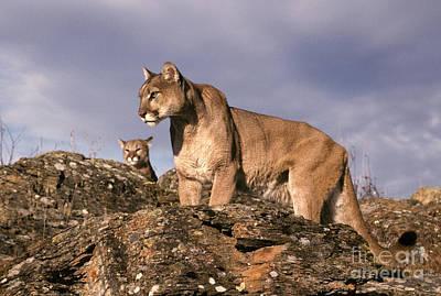 Mountain Lions Felis Concolor Poster