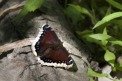 Mourning Cloak Butterfly Poster by Christina Rollo