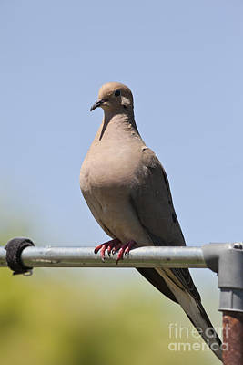Mourning Dove  Poster by Brandon Alms