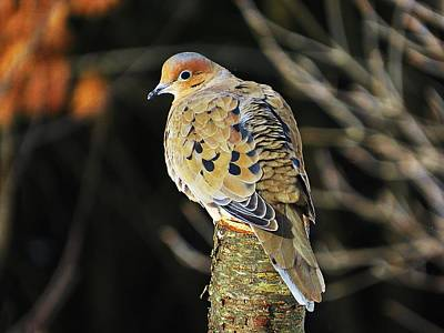 Mourning Dove On Post Poster
