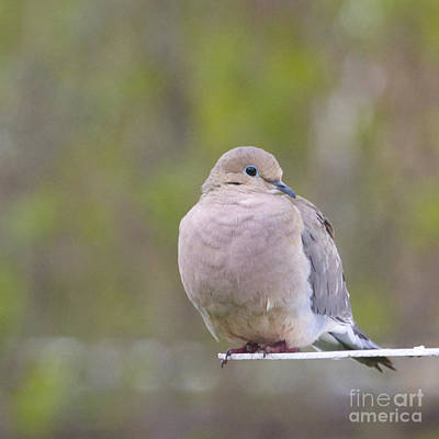 Mourning Dove Square Poster by Heidi Hermes