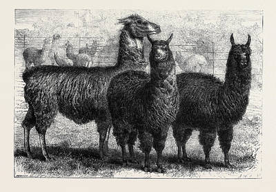 Mr. Ledgers Alpacas And Llamas At Sophienburg The Seat Of Mr Poster by English School