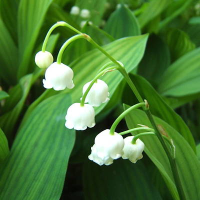 Poster featuring the photograph Muguet by Marc Philippe Joly