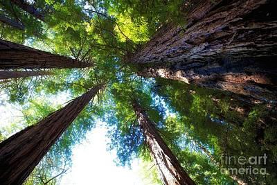 Muir Woods Redwood Trees 6 Poster